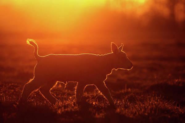Lamb Photograph - Enlightened Lamb by Roeselien Raimond