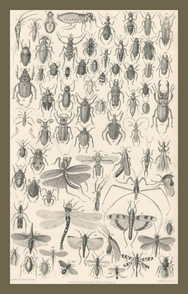 Wall Art - Drawing - Entomology by Dreyer Wildlife Print Collections