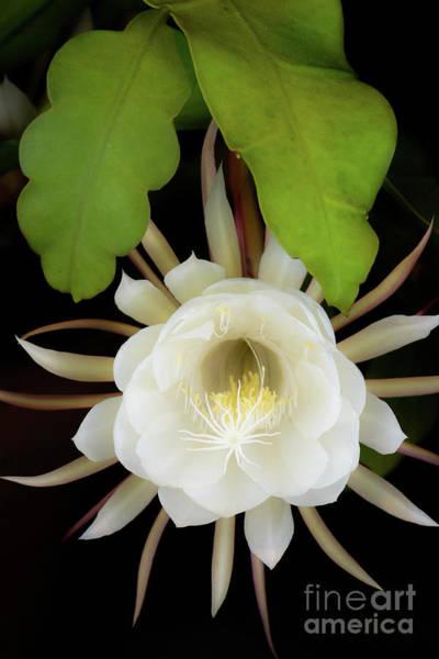 Photograph - Epiphyllum Oxypetalum Flower by Alexander Kunz