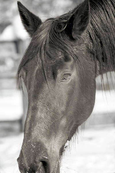 Wall Art - Photograph - Equine Almost Dozing Near Virginia Tech by Betsy Knapp