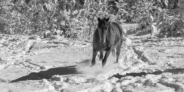 Wall Art - Photograph - Equine Playing In The Snow by Betsy Knapp