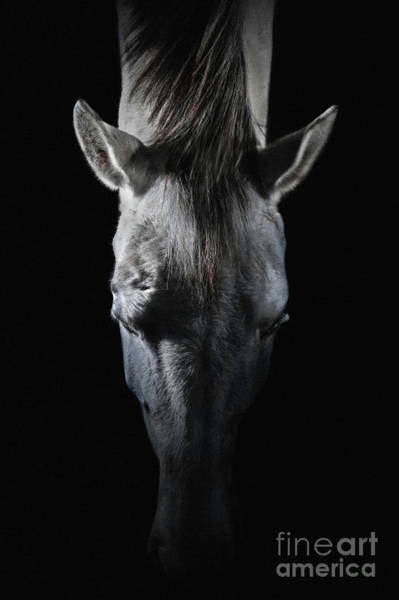 Photograph - Equine Portrait White Horse Head On Top by Dimitar Hristov