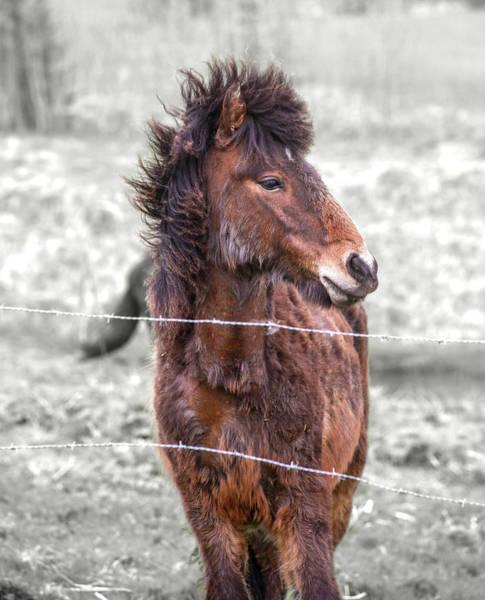 Critters Photograph - Equine Reynisfjara Icelandic Pony by Betsy Knapp