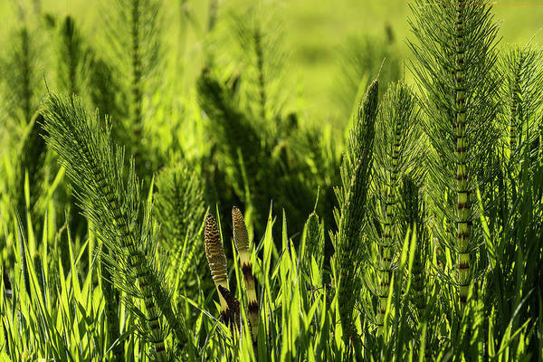 Photograph - Equisetum And Grass by Robert Potts