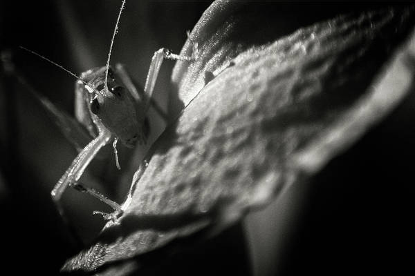 Photograph - Eraserhead Cricket by Brian Hale