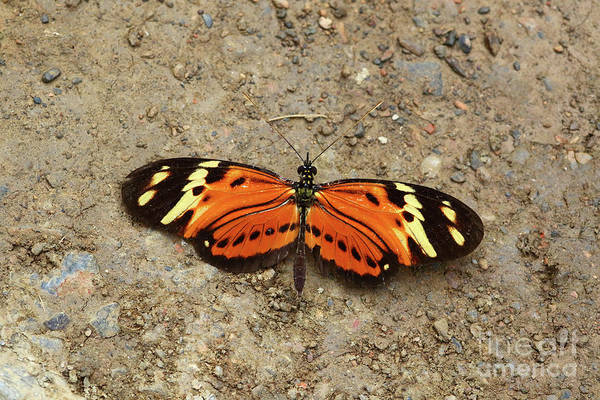 Photograph - Eresia Species Butterfly by James Brunker