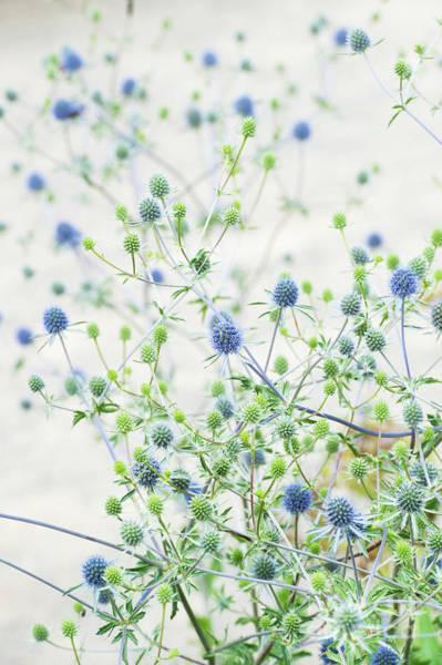Silvery Photograph - Eryngium Tripartitum In An English Garden by Tim Gainey