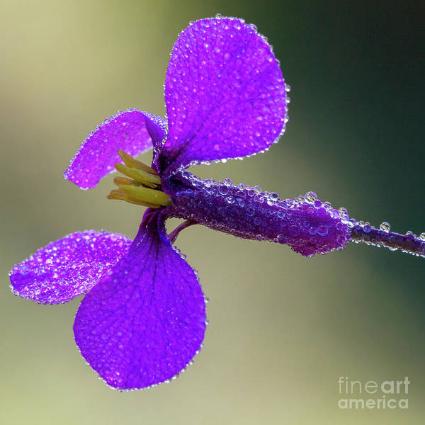 Photograph - Erysimum With Waterdrops by Heiko Koehrer-Wagner