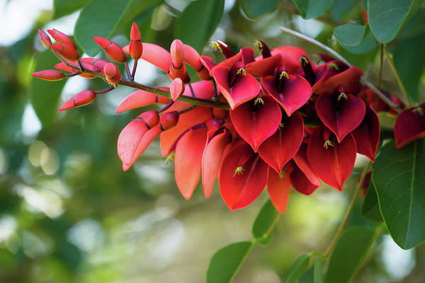 Photograph - Erythrina Cristina Galli by Christopher Johnson