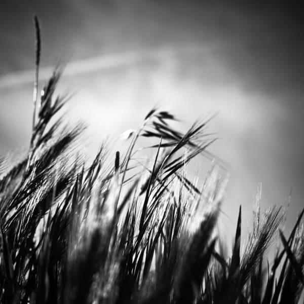 Vegetal Photograph - Espigas by Felix M Cobos