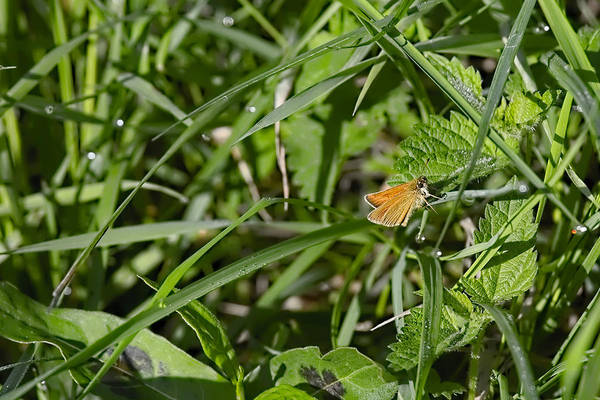 Photograph - Essex Skipper 2 by Leif Sohlman