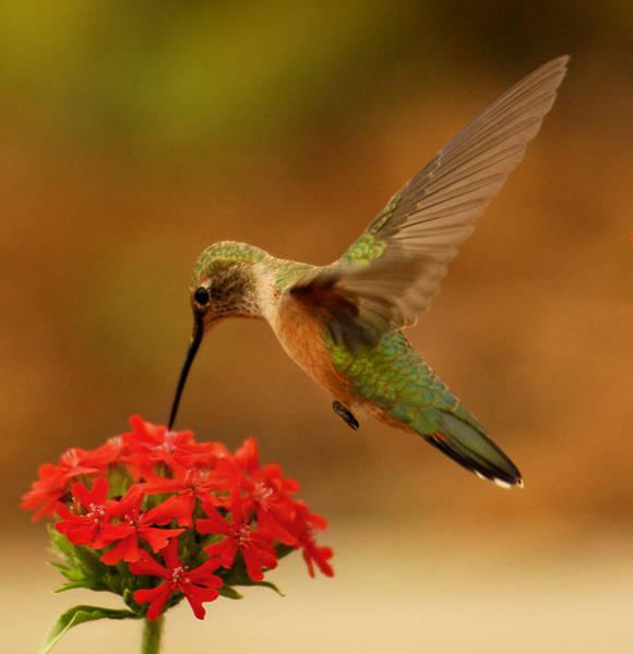 Small Birds Photograph - Estes Park Hummng Bird by Don Wolf