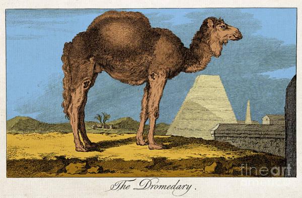 Wall Art - Photograph - Etching Of Dromedary, Buffon, 18th C by Science Source