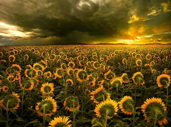 Sunflower Field Photograph - Eternal Flame by Adrian Borda