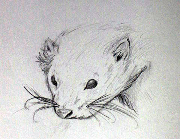 Ferrets Drawing - Ethel by Kate Collins