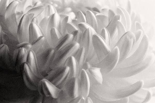 Ethereal Chrysanthemum Art Print