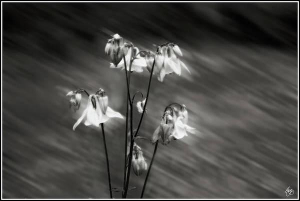 Photograph - Ethereal Columbine Monochrome by Wayne King