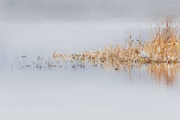 Photograph - Ethereal Heron by Bill Wakeley