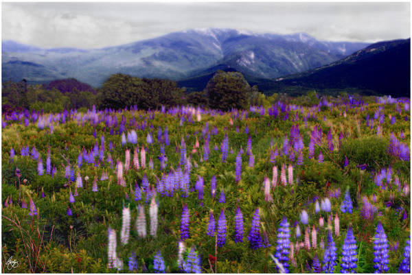 Photograph - Etherial Lupines by Wayne King