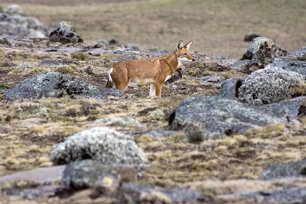 Photograph - Ethiopian Wolf by Aidan Moran