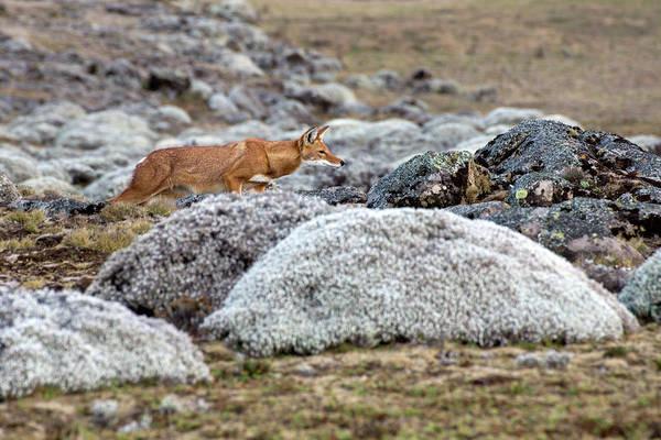 Red Wolf Photograph - Ethiopian Wolf Hunting by Aidan Moran