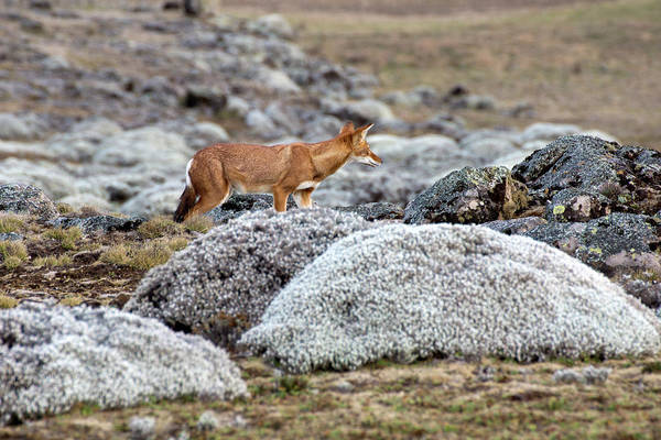 Red Wolf Photograph - Ethiopian Wolf On The Sanetti Plateau by Aidan Moran