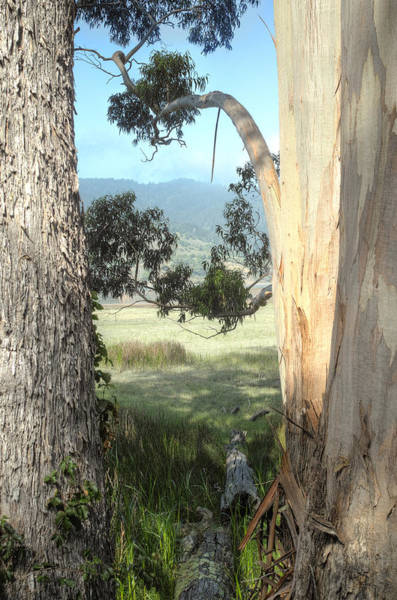 Photograph - Eucalyptus And Pine by Peter Dyke