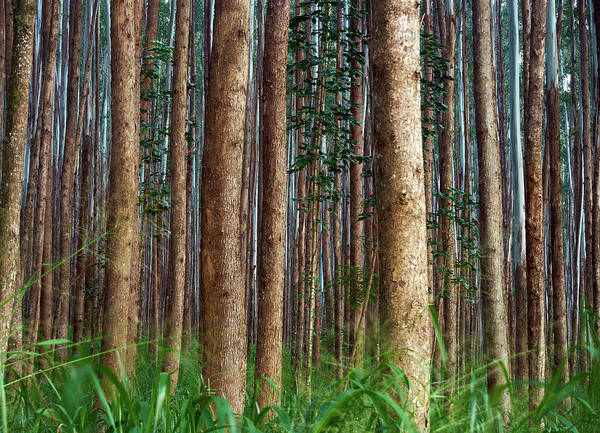 Big Island Photograph - Eucalyptus Forest by Christopher Johnson
