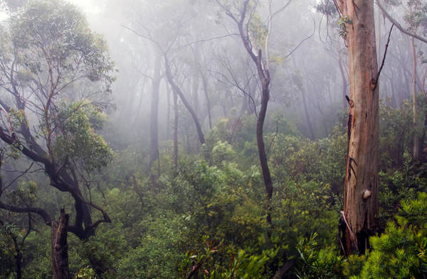 Photograph - Eucalyptus Forest In Mist by Nicholas Blackwell