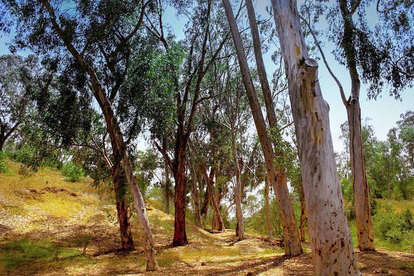 Photograph - Eucalyptus Grove by Alison Frank