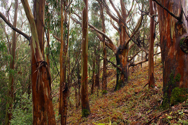 Photograph - Eucalyptus Grove In California by Ben Upham III