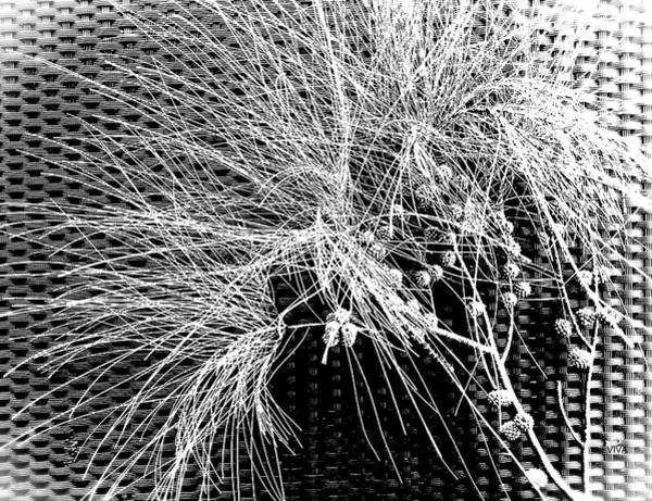Photograph - Eucalyptus Sprig  B  -  W by VIVA Anderson
