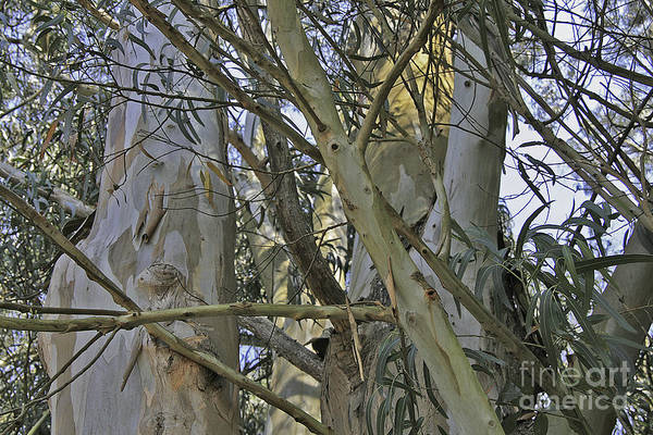 Photograph - Eucalyptus Study by Joyce Creswell