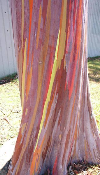 Wall Art - Photograph - Eucalyptus Tree Bark by Kevin Smith