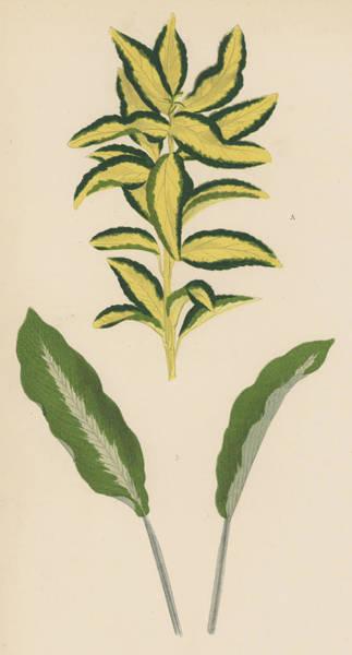 Leaf Venation Wall Art - Painting - Euonymus Japonica Aurea Variegata, Maranta Micans by English School