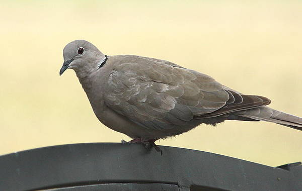 Photograph - Eurasian Collared Dove On Park Bench by Sheila Brown