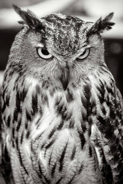 Photograph - Eurasian Eagle Owl Black And White by Wes and Dotty Weber