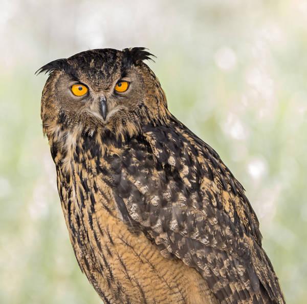Photograph - Eurasian Eagle Owl Stare by Loree Johnson