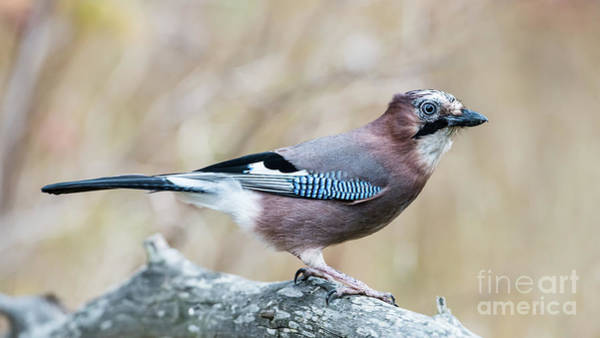 Photograph - Eurasian Jay  by Torbjorn Swenelius