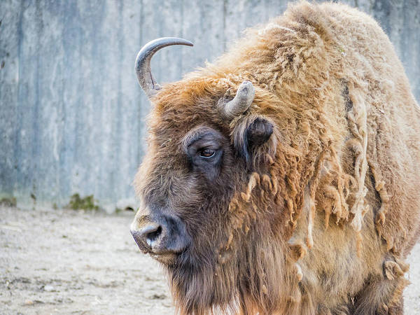 Photograph - European Bison  by Robin Zygelman
