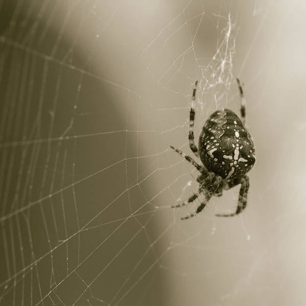 Photograph - European Garden Spider C by Jacek Wojnarowski