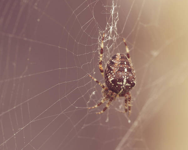 Photograph - European Garden Spider F by Jacek Wojnarowski