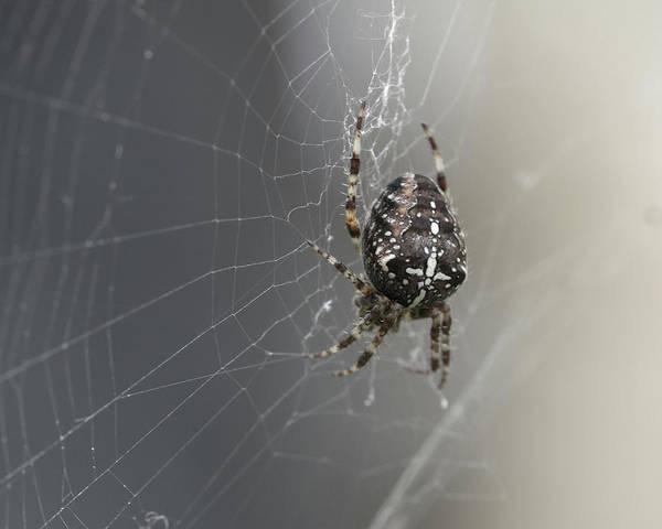 Photograph - European Garden Spider G by Jacek Wojnarowski