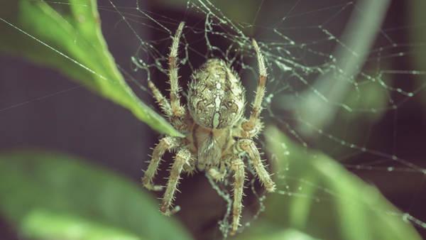 Photograph - European Garden Spider L by Jacek Wojnarowski