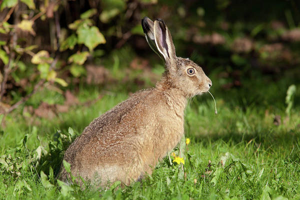 Photograph - European Hare With Culm by Aivar Mikko