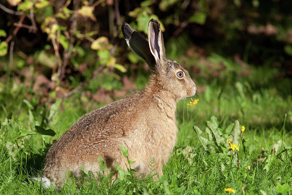 Photograph - European Hare With Flower by Aivar Mikko