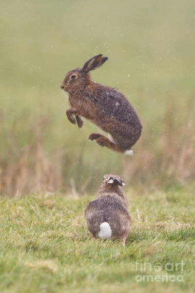 Photograph - European Hares Boxing by Paul Sawer FLPA