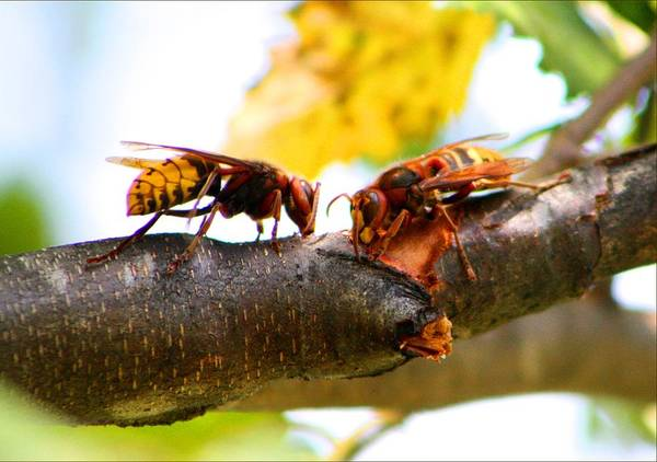 European Hornet Photograph - European Hornets by Kathryn Meyer