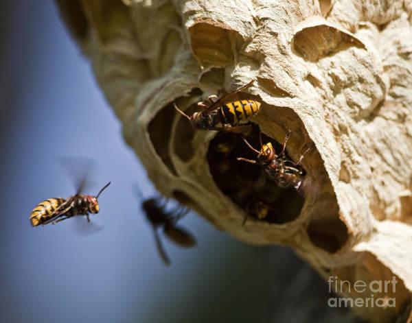 European Hornet Photograph - European Hornets by Per-Olov Eriksson