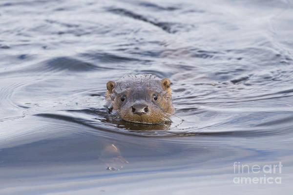 Photograph - European Otter by Karen Van Der Zijden